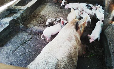 A cross section of pigs owned by Betty. Photograph source: Mildmay Uganda.